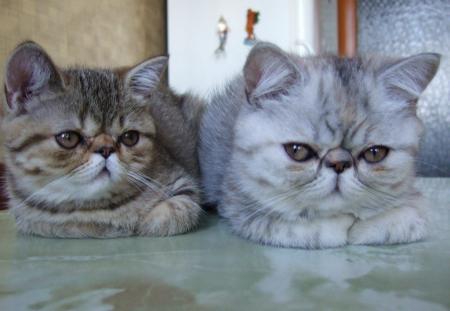 экзоты фото котята