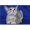 Абиссинская кошка стерилизованая