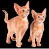 Абиссинские и бенгальские котята