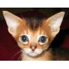Абиссинские и бенгальские котята из питомника.