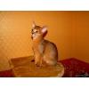 Абиссинские котята - супер