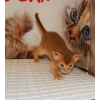 Абиссинские котята.  Девочки!