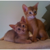 Абиссинские котята америанских линий