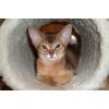 Абиссинские котята дикого и сорель окрасов