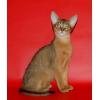 Абиссинские котята дикого окраса