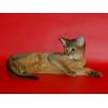 """Абиссинские котята из питомника """"Bluecourage"""""""