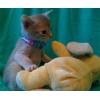 Абиссинский котенок от питомника Artlazar