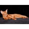 Абиссинский котенок шоу-класса