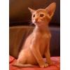 Абиссиские котята современного типа