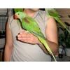 Александрийский попугай ручные птенцы