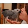 Алохвостый Жако ( Серый Африканский Попугай)  – птенцы выкормыши