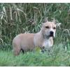 Американский стаффордширский терьер - щенки
