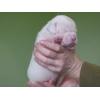 Американского бульдога щенки