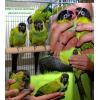 Аратинга – полностью ручные птенцы