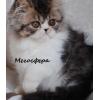 Арнольд - персидский котик