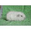 Белая морская свинка - Английский СЕЛФ