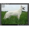Белая Швейцарская овчарка -Щенки