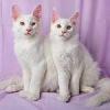 Белые котята мейн-кун