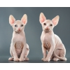Белый Разноглазый Канадский сфинкс ! ! !  Котята ! ! !