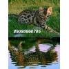 Бенгальская кошка,  бенгальские котята