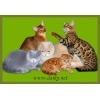 Бенгальские,  абиссинские,  британские, шотландские котята.