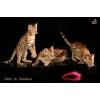 Бенгальские кошки,  бенгальские котята