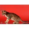 Бенгальские котята,