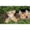 Бенгальские котята и Тойгеры