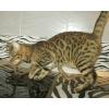 Бенгальские котята маленькие леопардики