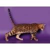 Бенгальские котята,  мэйн кун и тойгер