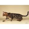 бенгальские котята мини леопарды