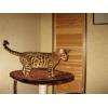 Бенгальские котята подарок к Новому Году