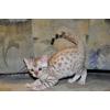 Бенгальские котята редкого снежного окраса,  маленькие комочки,