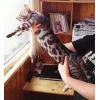 Бенгалы котята