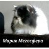 Би-колорный персидский котик