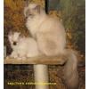Бирманские священные котята