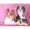 Бивер йорк (белый йорк)  щенки