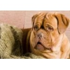 Бордоский дог (французский мастиф )  щенки