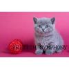 Британские голубые котята.  Питомник british symphony.