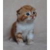 Британские и скоттиш-фолд котята окраса красный мрамор