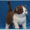 Британские котята – окрас голубой,  фавн,  шоколадный биколор.