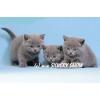 Британские котята из питомника Silvery Snow 8-916-426-18-18