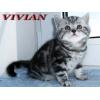 Британские котята мраморного окраса из питомника VIVIAN.