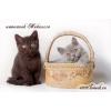Британские котята шоколадные и лиловые