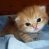 Британские котята золотого окраса.  Голубое и черное золото.