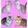 Британские, Шотландские и Вислоухие плюшевые котята