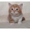 Британские (страйт)  красные мраморные котята