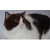 Продается взрослый вывозной британский кот