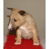 Бультерьер миниатюрный (карликовый)  щеночки