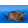 Бурманские котята.  Современные американские линии